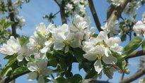 Festa dei Meli in fiore - Caldonazzo